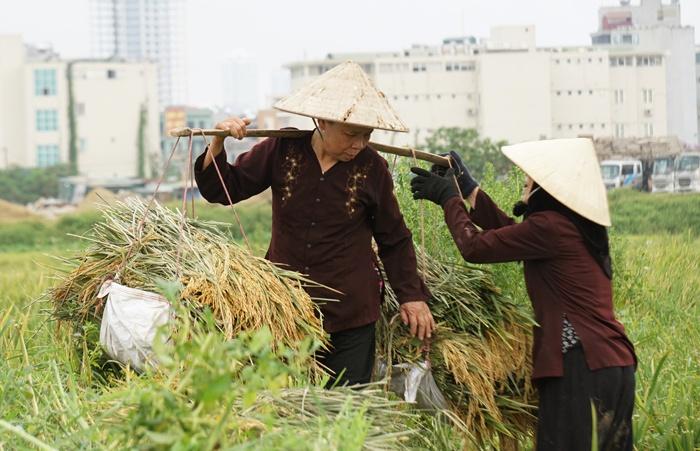 canh-dong-lua-giua-trung-tam-ha-noi-thue-nua-trieu-khong-ai-gat-gat-xong-khong-tim-duoc-cho-phoi